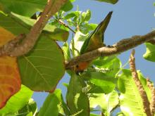 14 Bonaire's native parakeet