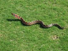 16 Eastern hognose snake eats toads & mice