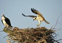 DSCN0411  Photo by Mel of nesting ospreys.jpg
