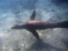 Sealion_underwater