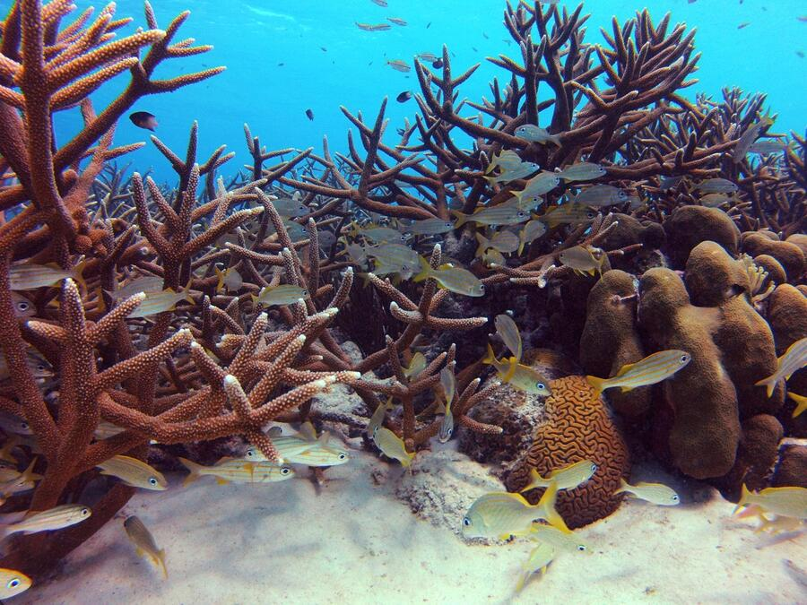 11 Patch of healthy staghorn coral