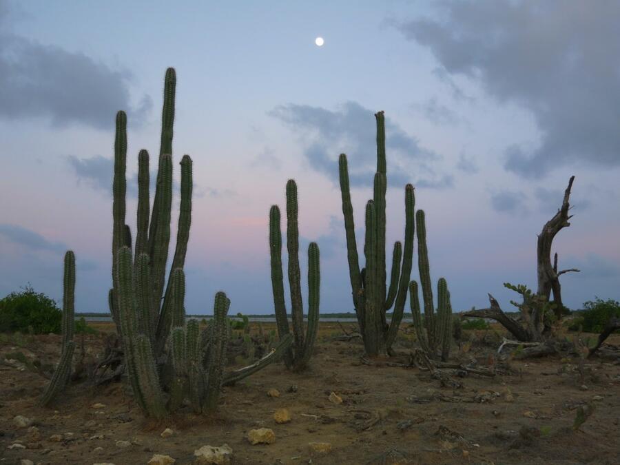 15 Cacti bordering Lac Bay at moonrise