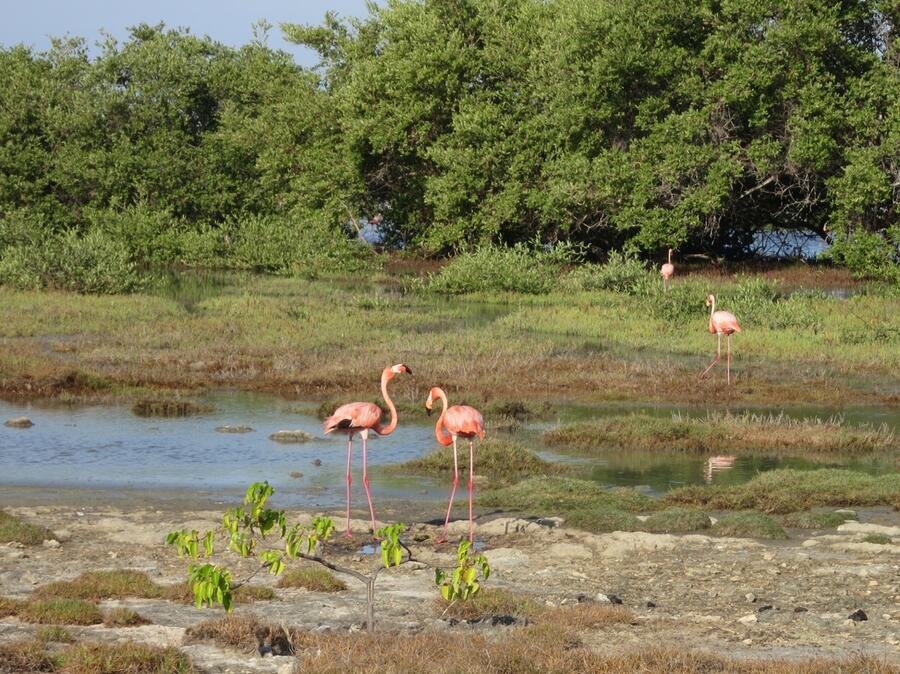 3 Caribbean flamingoes inhabit the mangroves fringing Lac Bay