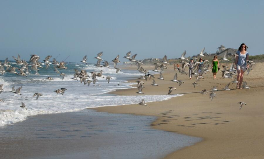 Flight_of_sandpipers